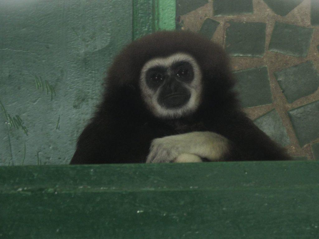 В Николаевский зоопарк приехала молоденькая самочка гиббона: тут ее ждет жених (ФОТО) 1
