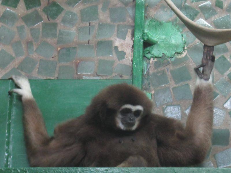 В Николаевский зоопарк приехала молоденькая самочка гиббона: тут ее ждет жених (ФОТО)