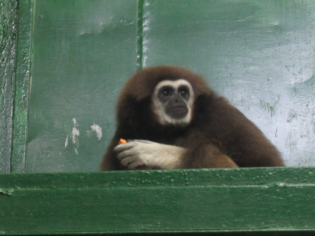 В Николаевский зоопарк приехала молоденькая самочка гиббона: тут ее ждет жених (ФОТО) 5