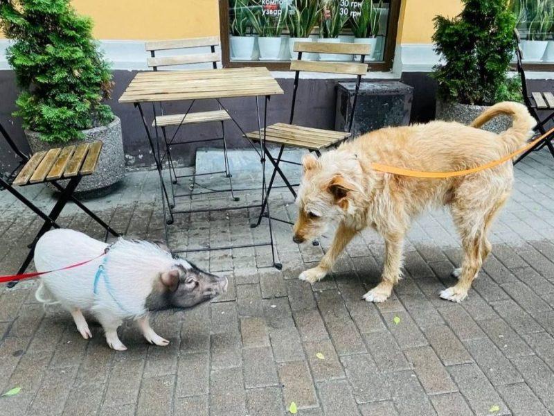 Киевлянки гуляют по улицам со свинкой Адель на поводке (ФОТО)