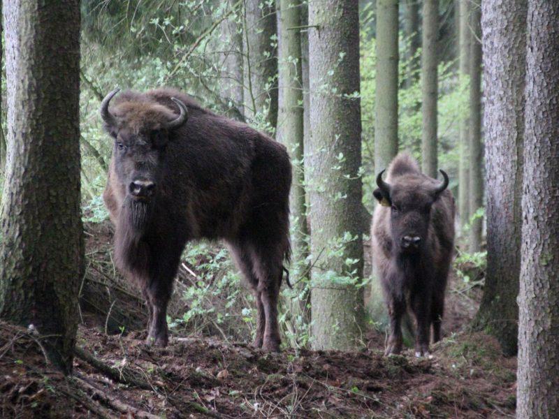 В Чехии из зоопарка сбежало стадо зубров