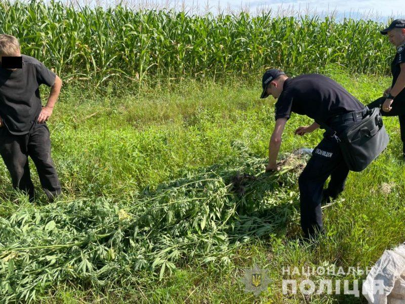 В кукурузе спрятать не удалось: в Первомайском районе у пенсионера изъяли 84 куста 2-метровой конопли (ФОТО)