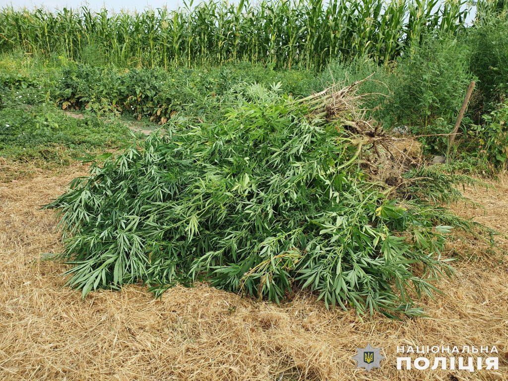Почти 200 кустов конопли вырастил житель Вознесенского района (ФОТО, ВИДЕО) 3