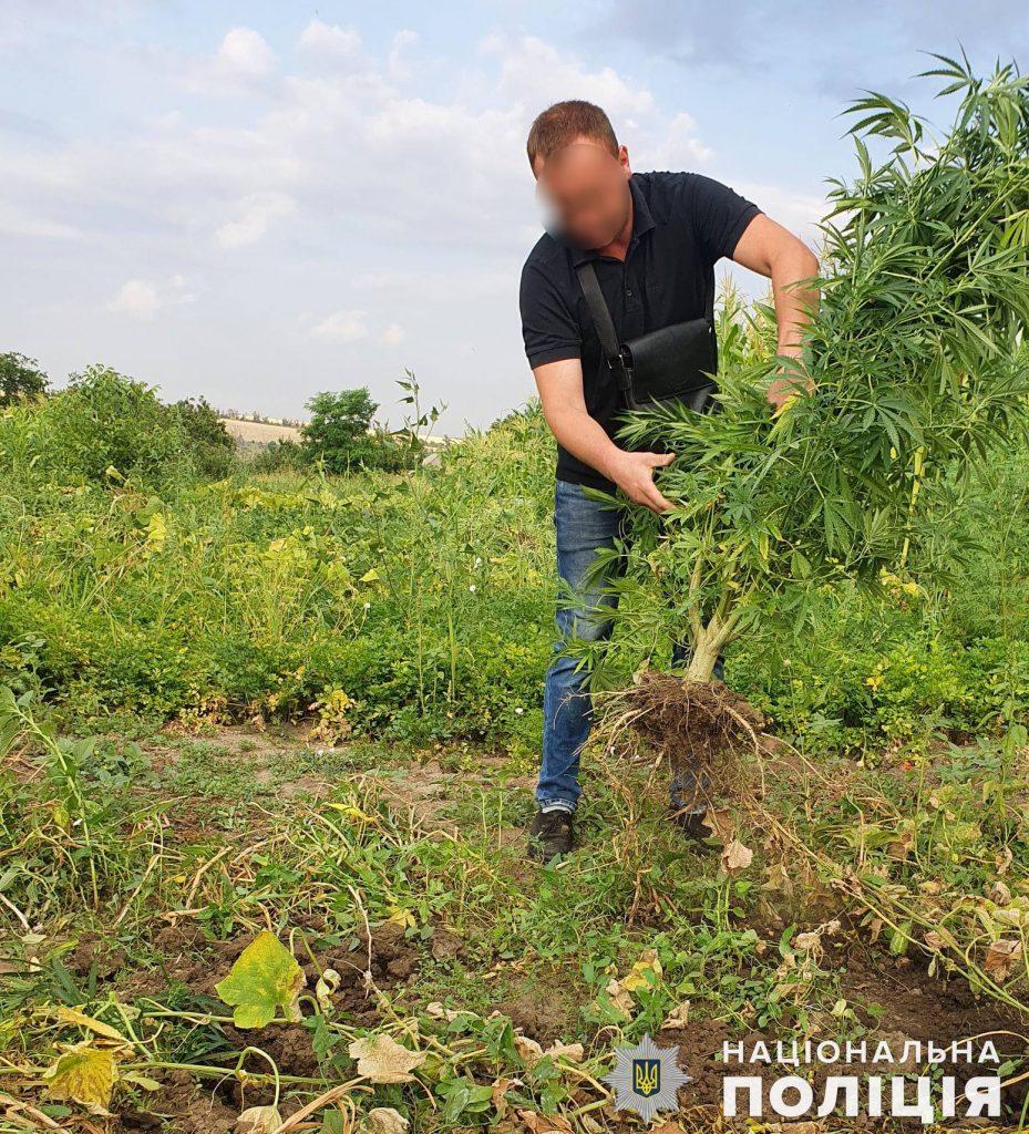 Почти 200 кустов конопли вырастил житель Вознесенского района (ФОТО, ВИДЕО) 5