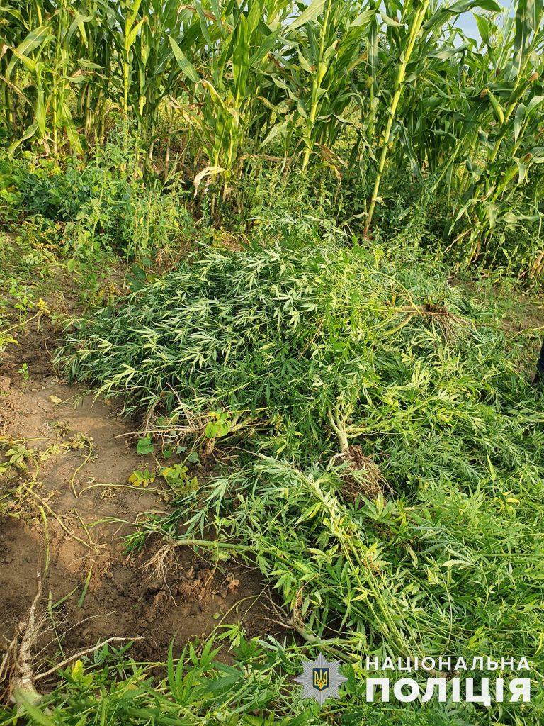 Почти 200 кустов конопли вырастил житель Вознесенского района (ФОТО, ВИДЕО) 7