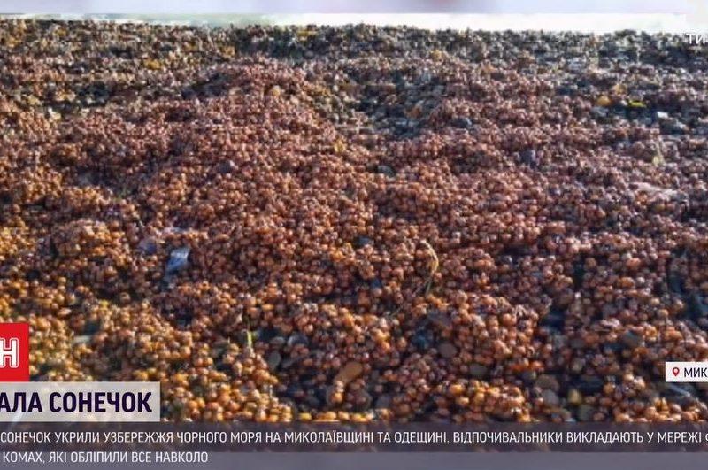 Коблево и Затоку оккупировали полчища божьих коровок – они везде и кусаются (ВИДЕО)