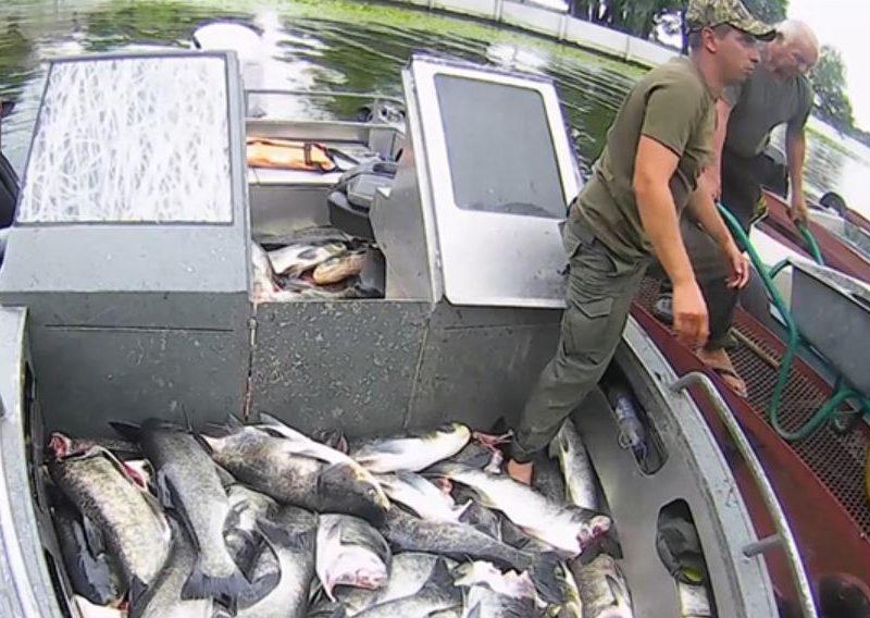 Возле ДнепроГЭС всплыли изрубленные тушки взрослых толстолобов — уже более 7 тонн (ВИДЕО)