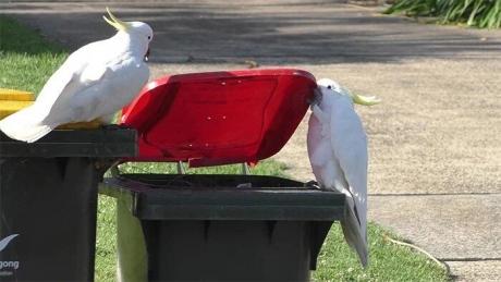 В Австралии какаду учат друг друга грабить мусорные баки (ВИДЕО)