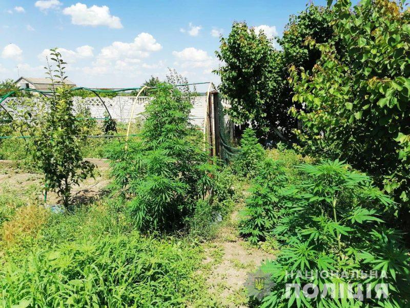 Николаевские полицейские изъяли 120 кустов конопли почти в человеческий рост (ФОТО)