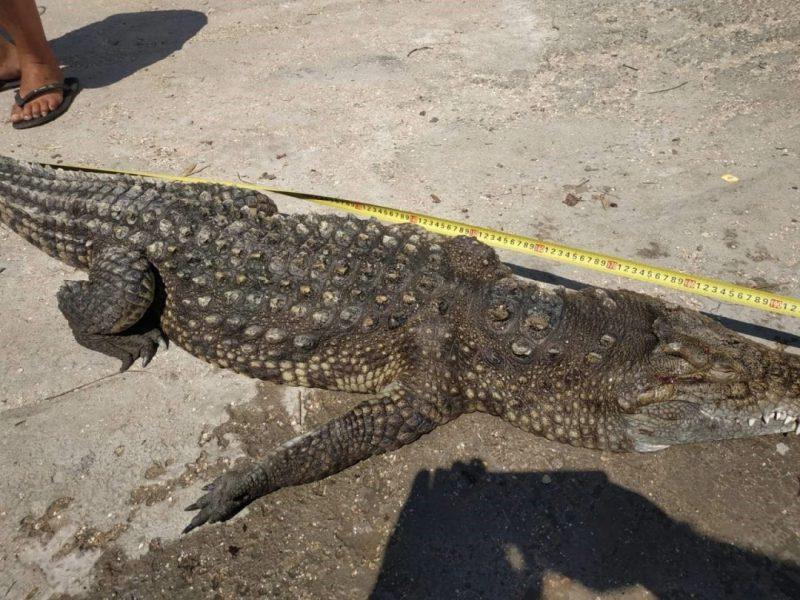 На Арабатской стрелке выловили из воды крокодила, но уже мертым (ФОТО)