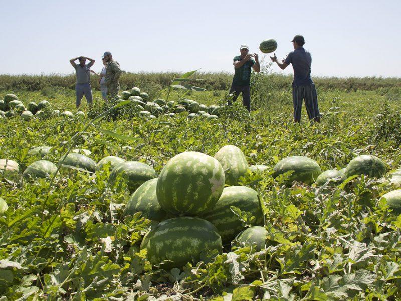 В Николаевской области процветает «арбузное рабство», — СМИ