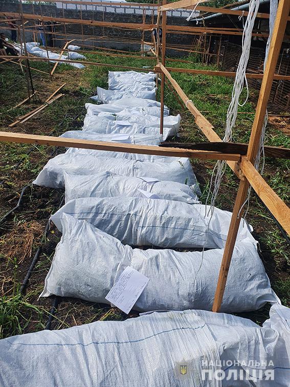 Кусты - как елки. Под Вознесенском изъяли конопли на полмиллиона (ФОТО, ВИДЕО) 13