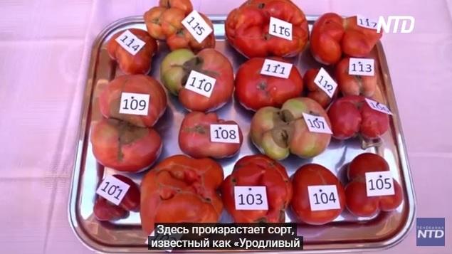 Конкурс красоты наоборот: в Испании вручили премию «Самый уродливый помидор» (ВИДЕО) 5