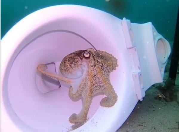 Милый дом может быть и в унитазе. У осьминогов (ВИДЕО)