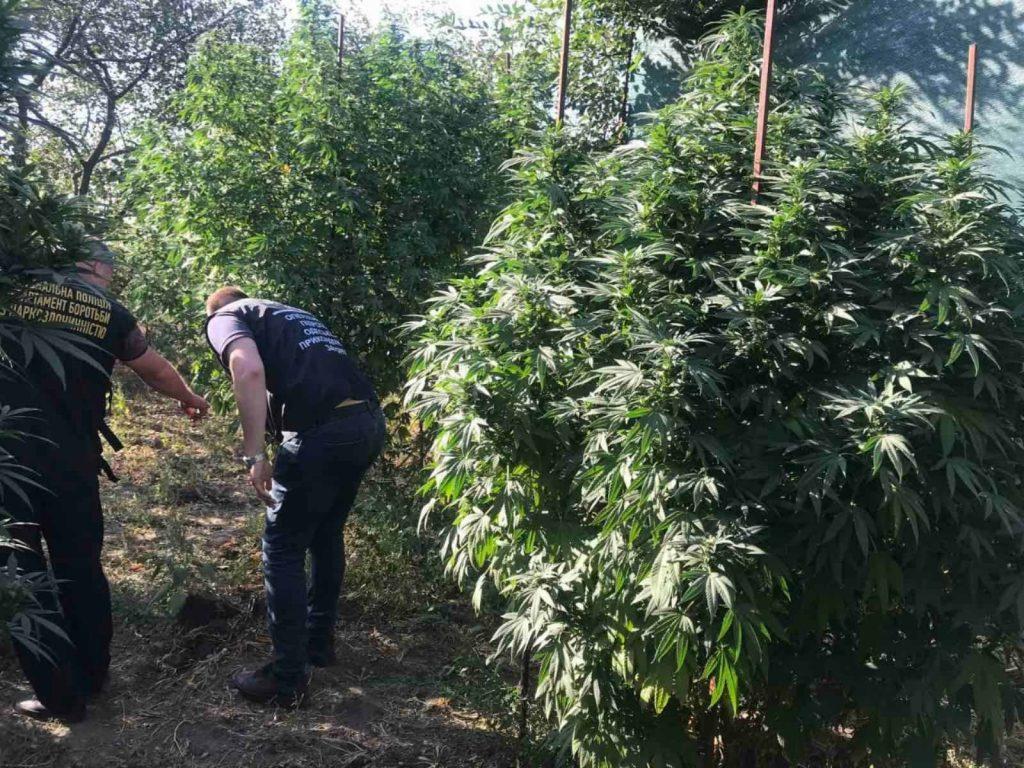 Трехметровые кусты конопли вырастил житель Снигиревки (ФОТО) 3