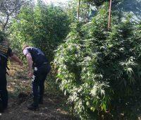 Трехметровые кусты конопли вырастил житель Снигиревки (ФОТО)