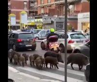 Жители Рима страдают от диких кабанов на улицах (ВИДЕО)