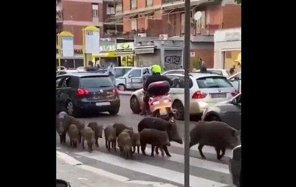 Жители Рима страдают от диких кабанов на улицах (ВИДЕО) 3