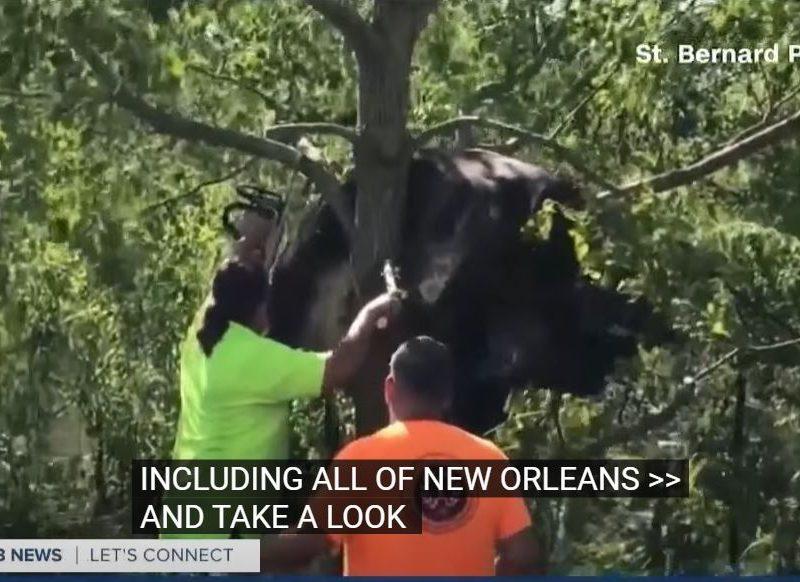 В США после урагана спасателям пришлось снимать застрявшую на дереве корову (ВИДЕО)