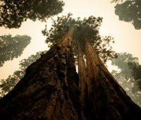 В Калифорнии горят реликтовые секвойи — их пытаются спасти огнеупорными одеялами (ФОТО)