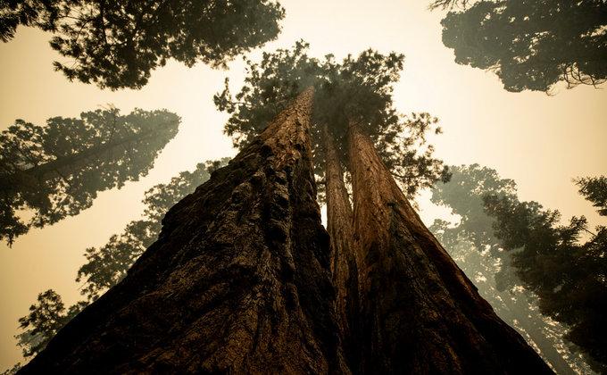 В Калифорнии горят реликтовые секвойи - их пытаются спасти огнеупорными одеялами (ФОТО) 1