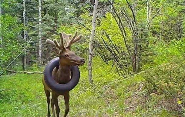В США олень два года носил покрышку на шее (ВИДЕО) 1